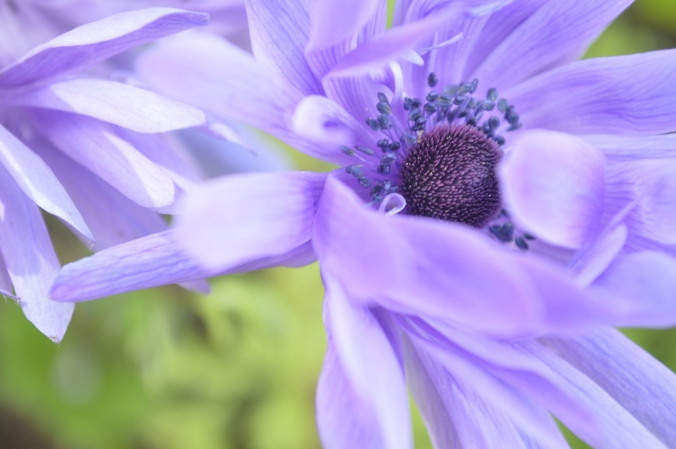 Night Song Farm anemone
