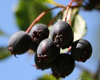 blackhawthorn