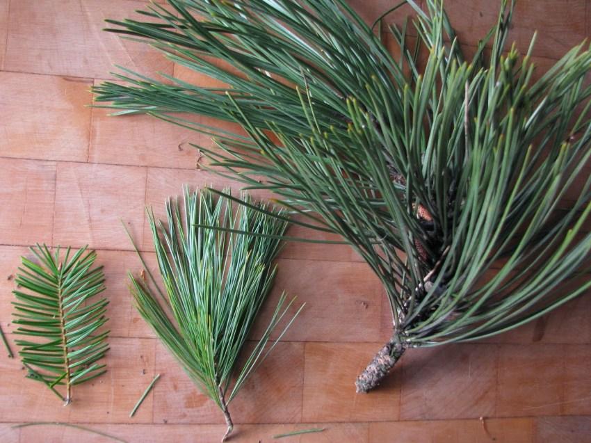 pineneedles