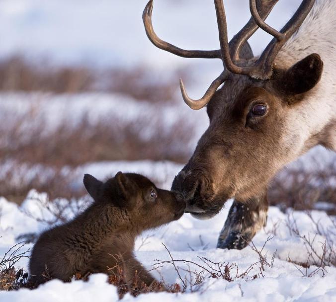 reindeermomma