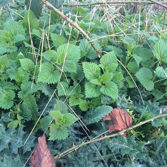 Robust nettle patch