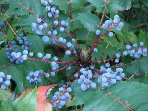 Native Mahonia nervosa (photo: nativeplantspnw.com)