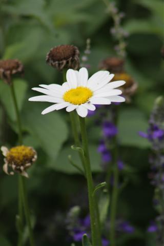 ox-eye-daisy-738-small