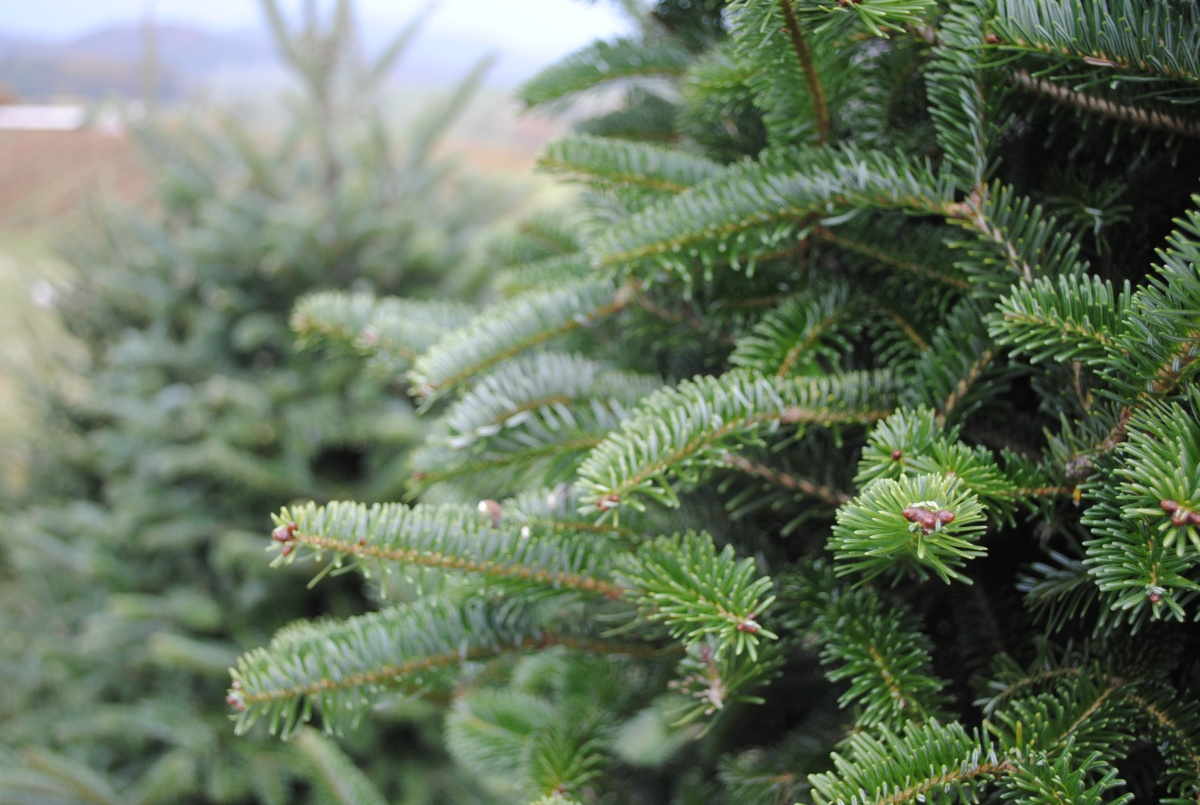 Recipes for Comfort & Joy: The Healing Powers of Conifers