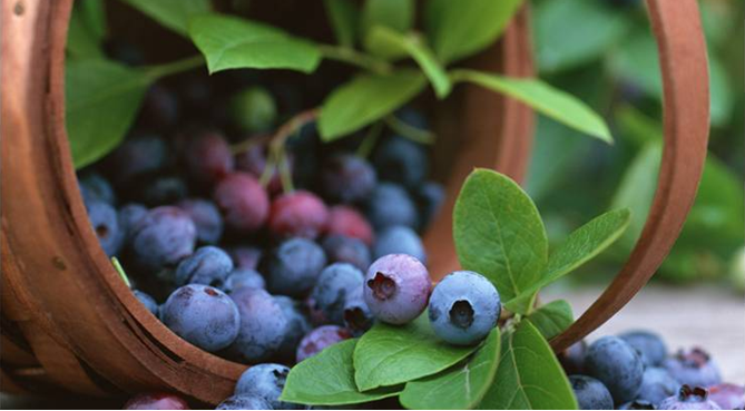 berrybilberry